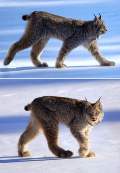 The magnificent, Canadian Lynx                                                                                                                                                      More