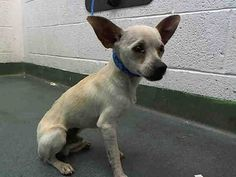 RICKARDO (A1688242) I am a male cream Chihuahua - Smooth Coated. The shelter staff think I am about 5 months old. I was found as a stray and I may be available for adoption on 03/27/2015. — hier: Miami Dade County Animal Services. https://www.facebook.com/urgentdogsofmiami/photos/pb.191859757515102.-2207520000.1427427809./951558884878515/?type=3&theater