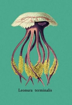 Buyenlarge Jellyfish: Leonura Terminalis by Ernst Haeckel Graphic Art on Wrapped Canvas Size: 3 Medusa, Vintage Prints, Vintage Art, Vintage Graphic, Ernst Haeckel Art, Wall Art Prints, Poster Prints, Frames For Canvas Paintings, Affordable Wall Art