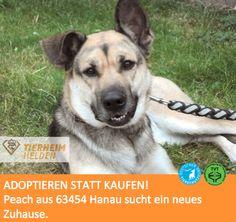Die freundliche und anhängliche Peach sucht ein Zuhause im @Tierheim Hanau http://www.tierheimhelden.de/hund/tierheim-hanau/deutscher_schaeferhund_mischling/peach/7421-0/ Peach hatte noch nicht viel gelernt, bevor sie ins Tierheim kam. Mittlerweile ist sie leinenführiger geworfen und kennt die Grundkommandos. Peach versteht sich mit Artgenossen nach Sympathie und bevorzugt auch hier eher Hunde, die souverän sind und ihr etwas entgegenzusetzen haben. Sie freut sich auf ein Zuhause mit genug…