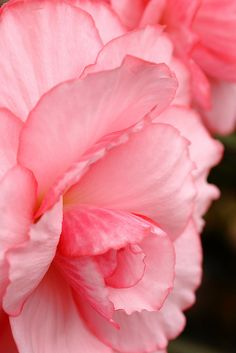 Begonia by Shingan Photography, via Flickr