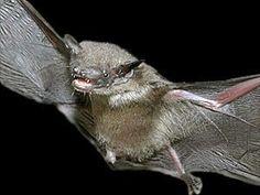 Pygmy flat headed bat
