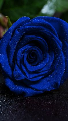 Blue Roses Wallpaper, Best Flower Wallpaper, Types Of Flowers, Blue Flowers, Red Roses, Beautiful Wallpaper Images, Rose Tumblr, Aesthetic Roses, Rose Background