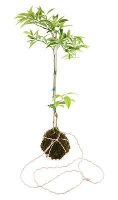 """DIY INSPIRATION :: Mandarin String Garden (6"""" x 20""""...mandarin tree, soil, moss & rope. Water 3x/wk) :: This dwarf mandarin tree string garden is made using the Japanese bonsai technique of kokedama along w/ a little bit of soil science. They should be well established before assembling. The rope used is nautical rope, known for its durability. It is tied so that it retains its balance when hung. A sculptural bowl also works if you don't have a sunny window."""