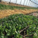 OLATHE, Kan. — Kansas State University researchers are nearly halfway through a four-year project to learn more about improving the freshness and shelf life of locally-grown produce. So far, they've …