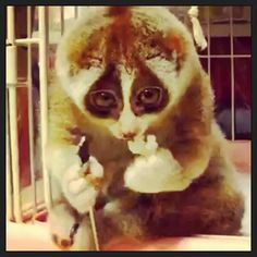 Slow Loris eating rice. Violet Darkling's animal inspiration behind the Loris Collection