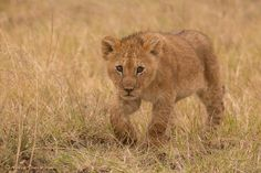 One of four little lion cubs I singled out for a close-up one morning on the Masai Mara. Not far away were two attentive lionesses, I could't tell which cubs belonged to which mother, but they sure made for one lovely looking family. Unless safari vehicles get too close, and that does sometimes happen in Kenya, both mother lions and their cubs generally pay little attention to the humans inside them. This one, however, seemed just a little more curious by nature.#travel-paradise divine…