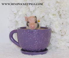 Mini & Micro Juliana Baby Pigs For Sale - Mini Pocket Pigs : Mini Pocket Pigs Baby Pigs For Sale, Cute Baby Pigs, Micro Piglets, Baby Piglets, Pocket Pig, Baby Animals, Cute Animals, Otters Cute, Small Pigs