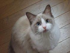ragdoll-cat01