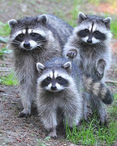 I love raccoons. Masked bandits of the nyt