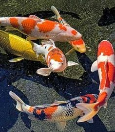 """Koi fish are the domesticated variety of common carp. Actually, the word """"koi"""" comes from the Japanese word that means """"carp"""". Outdoor koi ponds are relaxing. Koi Fish Pond, Fish Ponds, Koi Art, Fish Art, Koi Fish Colors, Koi Painting, Hydro Painting, Common Carp, Japanese Koi"""