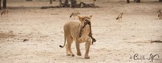 A lioness with a leg from a recent kill.