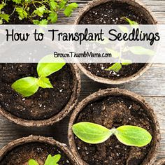 Congratulations! Your seedlings have sprouted, healthy and strong, and are threatening to take over the kitchen. That means it's time to transplant them and get them used to life outside.