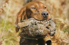 """Résultat de recherche d'images pour """"setter irlandais chasse"""""""