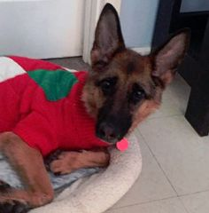 German Shepherd Dog dog for Adoption in Matawan, NJ. ADN-502502 on PuppyFinder.com Gender: Female. Age: Adult