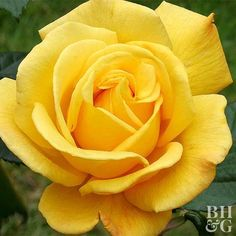 This grandiflora rose's name says it all! The big, golden-yellow blooms bear a wonderfully intense citrus scent. Thanks to their long stems, the flowers are perfect for cutting and adding sunshine indoors. Size: To 5 feet tall and wide Zones: 5-9