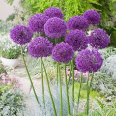 The Aptly Named Purple Sensation Allium Will Provide An Unusual And Very Colorful Accent To Your