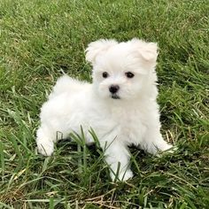 CHASE Maltipoo, Yorkie, Maltese Puppies For Sale, Teddy Bear, Food Menu, Pets, Crate, Stuff To Buy, Animals