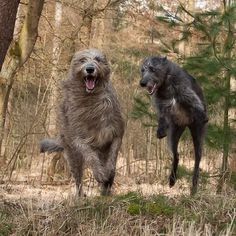 Irish Wolfhounds playing.