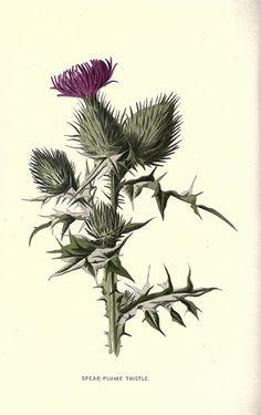 Items similar to Vintage Art - Floral Image - Painting Print on Etsy Botanical Drawings, Botanical Prints, Image Painting, Painting Prints, Scotland National Flower, Thistle Tattoo, Art Floral, Wild Flowers, Purple Flowers