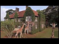Eat with giraffes at Giraffe Manor - one of Nairobi's most iconic buildings Set in 12 acres of private land within 140 acres of indigenous forest in the Langata suburb of Nairobi, with verdant green gardens, sunny terraces and delightful courtyards, it harks back to the 1930s  The most fascinating thing about Giraffe Manor is it's herd of resident Rothschild giraffe. These beautiful creatures often visit morning and evening, poking their long necks into the windows in the hope of a treat…