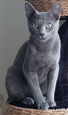 Dog Breeds Border Collie Why Are Russian Blue Cats Expensive.Dog Breeds Border Collie Why Are Russian Blue Cats Expensive Russian Blue Kitten, Russian Cat, Beautiful Cat Breeds, Beautiful Cats, Kittens Cutest, Cats And Kittens, Fat Cats, Cool Cats, I Love Cats