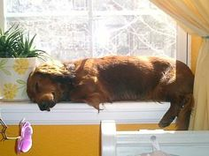 Wiener on the windowsill, they will do anything to lay in the sun!