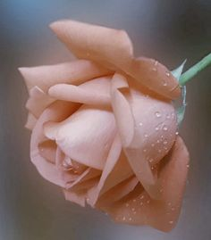 Beautiful Rose Flowers, Exotic Flowers, Pink Flowers, Beautiful Flowers, Rose Reference, Gum Paste Flowers, Rainbow Roses, Hybrid Tea Roses, Types Of Flowers