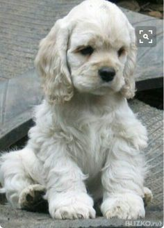 """Fantastic """"cocker spaniel dog"""" info is offered on our internet site. Check it out and you will not be sorry you did. : Fantastic """"cocker spaniel dog"""" info is offered on our internet site. Check it out and you will not be sorry you did. American Cocker Spaniel, Cocker Spaniel Puppies, Clumber Spaniel, Yorkie Puppies, Cute Puppies, Cute Dogs, Dogs And Puppies, Puppies Stuff, Pets"""