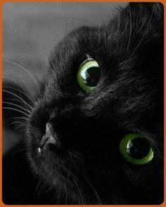 Pretty Cats, Beautiful Cats, Animals Beautiful, Cute Animals, Animals Images, Cute Cats And Kittens, I Love Cats, Cool Cats, Black Kittens