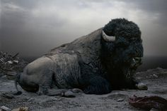 """Bison by Simen Johan. """"The Norwegian artist first takes photographs of animals at zoos, nature preserves, museums and even in his studio. He then digitally alters their habitats, resituating them onto other previously photographed environments."""" --http://www.huffingtonpost.com"""