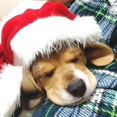 Christmas Beagle puppy