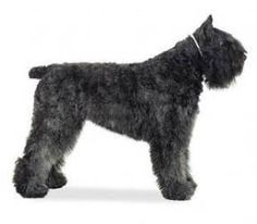 My sister has a bouvier! This picture lacks the constantly-hanging-out tongue.