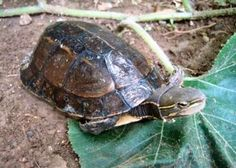 Turtles and tortoises may not get the same sort of attention as the cuddlier and fuzzier animals of the world, but a new report from the Tortoise As Pets, Baby Tortoise, Tortoise Care, Animals Of The World, Animals And Pets, Cute Animals, Red Eared Slider, Terrapin, Young Animal