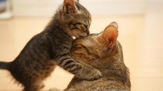 Pucker Up: Cute Pictures of Animals Kissing: There's nothing cuter than pets offering a quick kiss, making this collection of adorable, smooching animals just about the sweetest thing around. Animals Kissing, Animals And Pets, Baby Animals, Funny Animals, Cute Animals, Funny Cats, Animal Memes, Mom Funny, Funny School