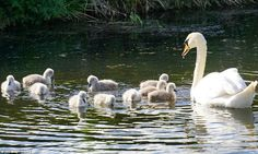 A swan and its 10 cygnets, about a week old, enjoy the Bank Holiday weather on the Grand W...