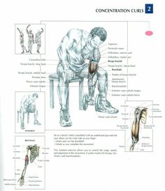 Concentration Curls ♦ #health #fitness #exercises #diagrams #body #muscles #gym #bodybuilding #arms