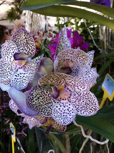 Stunning Leopard Orchid