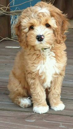 Excellent new photos of the Goldendoodle haircut guide - Hunderasse - Perros Graciosos Animals And Pets, Baby Animals, Cute Animals, Cute Puppies, Dogs And Puppies, Doggies, Baby Dogs, Puppies Tips, Terrier Puppies