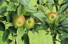 Fruit Tree Insect & Disease Control Products