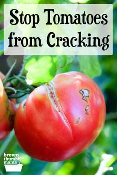 Split or cracked tomatoes are a common garden problem that's easy to solve. Here are 5 simple ways to keep your tomatoes from splitting or cracking. #gardening #vegetablegardening #organicgardening Growing Vegetables At Home, Growing Tomatoes In Containers, Growing Herbs, Mulch For Vegetable Garden, Garden Mulch, Gardening For Beginners, Gardening Tips, Organic Bone Meal, Grow Your Own Food