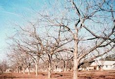 Training & Pruning Fruit Trees - Details and Diagrams
