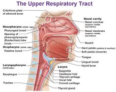 Non-respiratory Functions of the Respiratory System