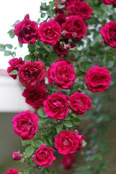 Red climbing Rambler rose | Rambler roses | klikk1 | Flickr