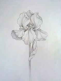 Iris - Admiration, hope, wisdom, hope, faith, courage Easy Flower Drawings, Pencil Drawings Of Flowers, Simple Line Drawings, Outline Drawings, Colorful Drawings, Art Drawings, Flower Sketch Pencil, Flower Sketches, Iris Drawing