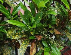 ACUBAEFOLIUM This croton was introduced through the late John Veitch from the South Sea Islands, the foliage bears a strong resemblance to the well-known vulgar Aucuba japonica of gardens.   Large green leaf, spotted yellow, Underside pinkish.   Ground color deep green heavily spotted bright yellow. Reverse of leaf is reddish with red midrib.