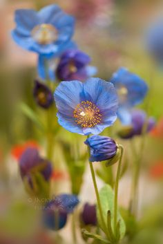 Himalayan blue poppy. I love this shade of blue.