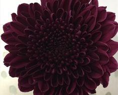 Aragon - Disbuds/Mums - Chrysanthemum - Flowers by category | Sierra Flower…