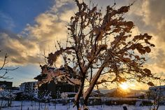 Tree in a cold Sunset..