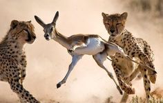 Two Cheetahs on a Hunt.